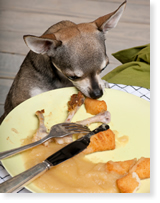 Chihuahua eating from a dinner plate